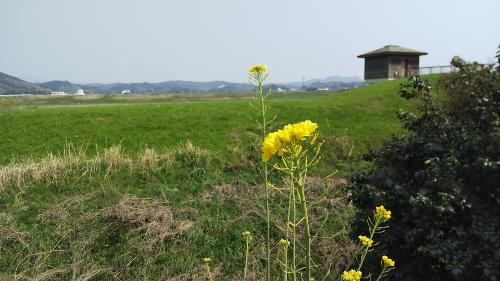 福岡市 菜の花